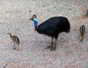 photo of cassowary and chicks