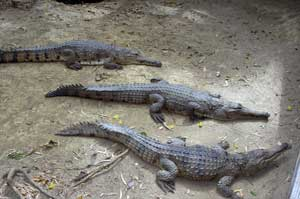 photo of freshwater crocodiles