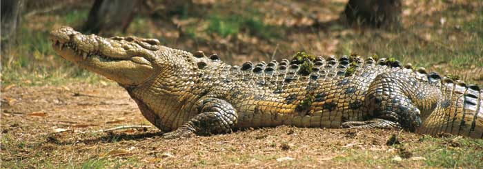 photo of saltwater crocodile at billabong sanctuary townsville
