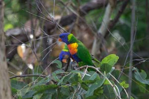 thala beach lodge rainbow lorikeets