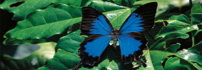 picture of ulysses butterfly