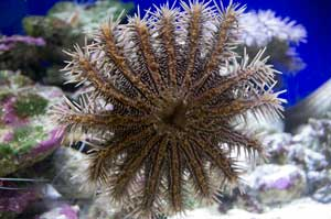 picture of juvenile crown of thorns starfish