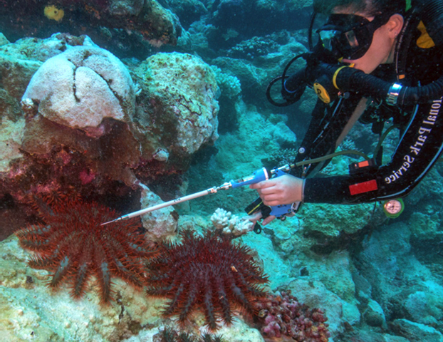 crown of thorns starfish dangerous to humans