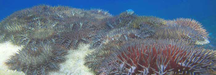 picture of crown of thorns starfish