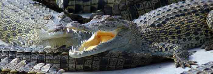 australian crocodile farms
