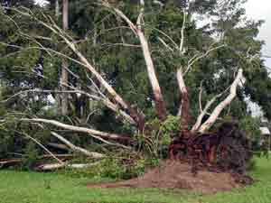 picture of fallen tree after cyclone