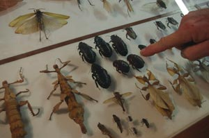 daintree bug museum, things to do in cape tribulation