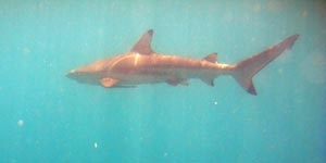 picture of black tipped shark, low isles