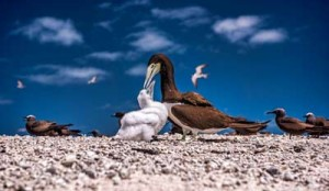 sea birds on michaelmas cay