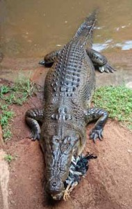 rainforestation crocodile