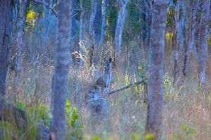 kangaroo mareeba queensland australia