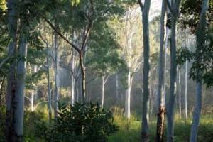 Eucalypts