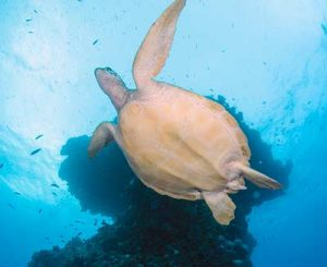 Light-House-Bommie-resident-turtle