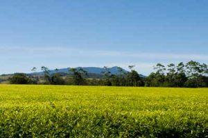 nerada tea plantation