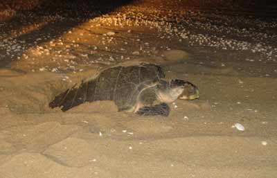 turtle nesting cape york