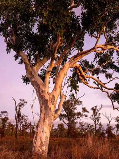wairuna trees