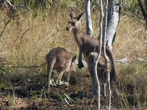 Undarra Kangaroos