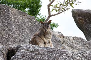 picture rock wallaby