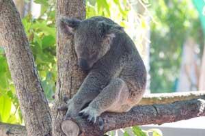 cute picture of sleepy koala