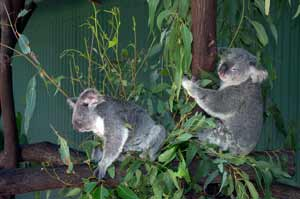 photo of koalas at wildlife habitat