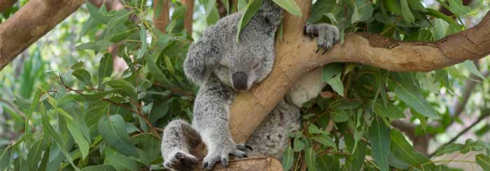 picture of koala, magnetic island wildlife