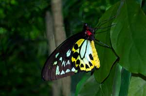 picture of cairns birdwing butterfly