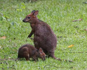 picture of wallabies