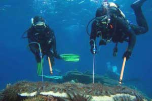 picture of divers killing crown of thorns starfish