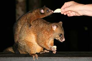 picture of possums feeding