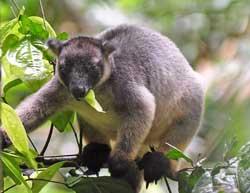 picture of a tree kangaroo