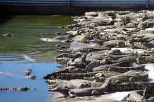 picture of crocodile farm