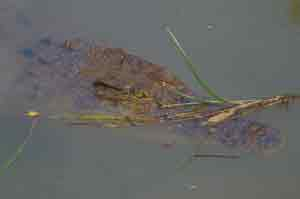 picture of submerged crocodile