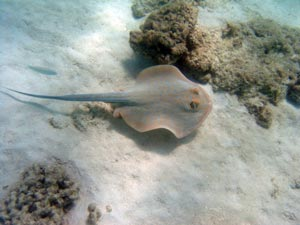 picture of lagoon ray