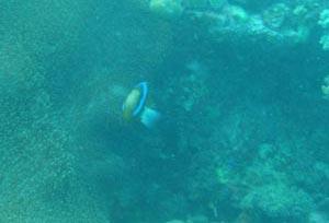 spine cheek anenome fish