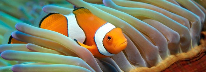 Picture of clownfish great barrier reef