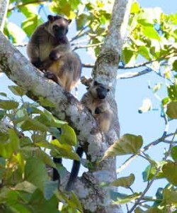 malanda tree kangaroos