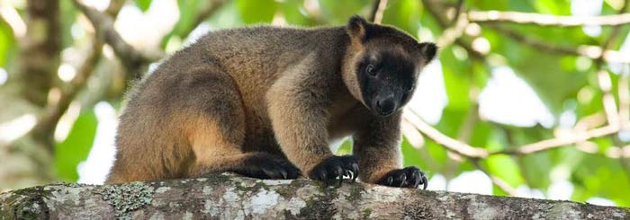 Lumholtz Tree Kangaroos: Victims of Climate Change?
