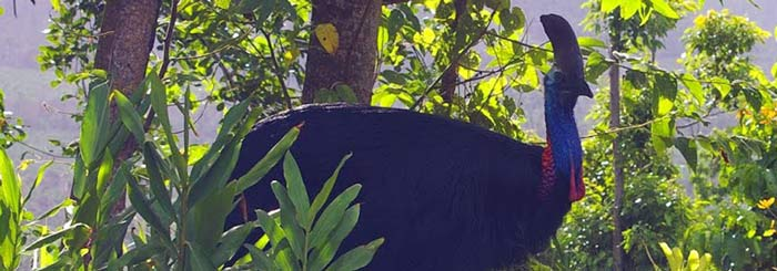 picture of cassowary