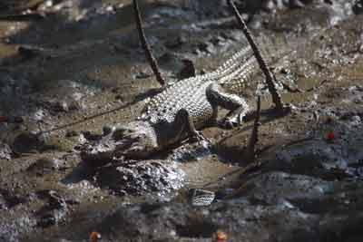 crocodile spotting daintree