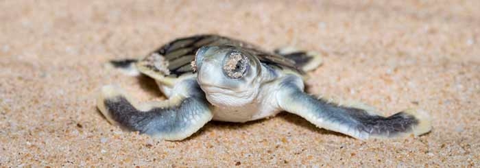 Nesting in the West: Turtle Nesting on Western Cape York