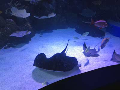 sting rays great barrier reef